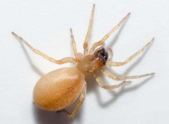 orange bedmate - female