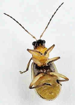 Chrysomelidae - ? - Acalymma blandulum - male