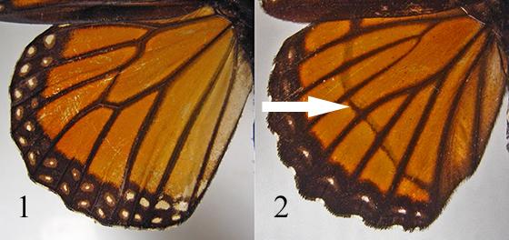 Danaus plexippus vs. Limenitis archippus
