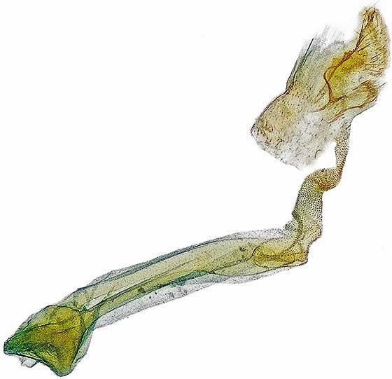 genitalia - Ocnerostoma piniariellum - female