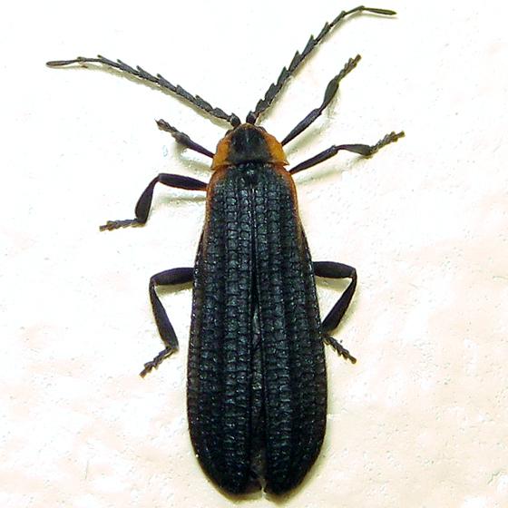 Leptoceletes basalis - female