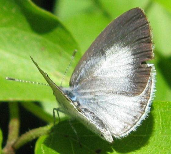 Celastrina argiolus? - Celastrina - female
