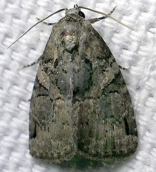 moth - Pseudeustrotia indeterminata