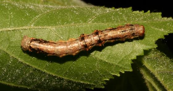 Geometridae, larva, dorsal - Phigalia strigataria