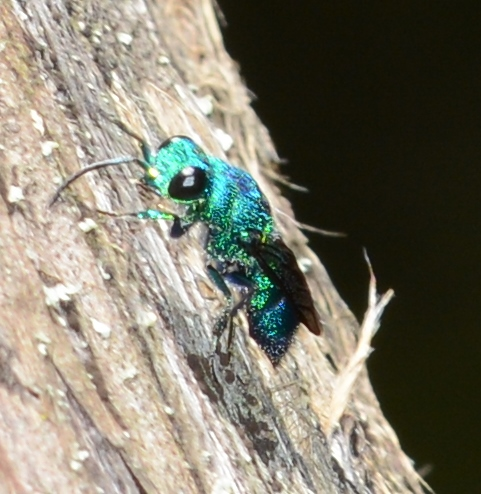 Blue Cuckoo Wasp ?