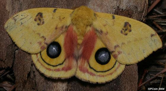 Io Moth - Automeris io - male