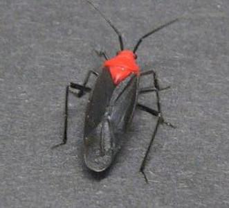 Red-headed Beetle