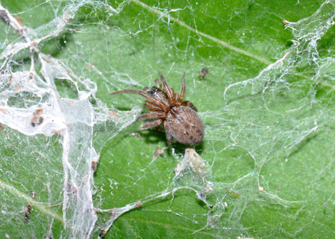 Spider in the garden - Badumna longinqua