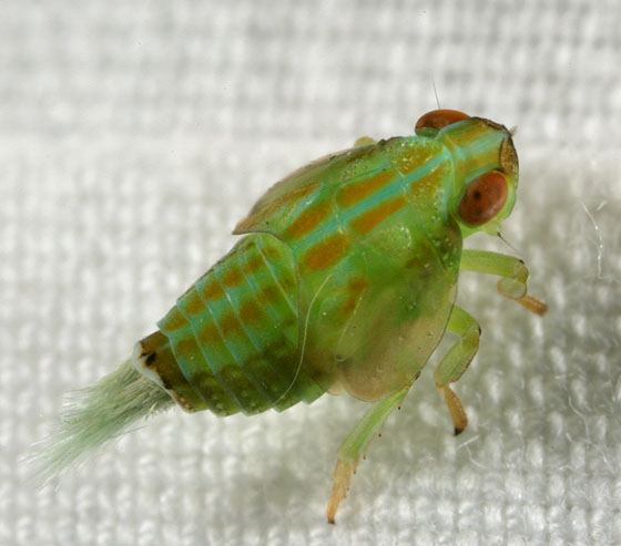 Leafhopper0012 - Thionia