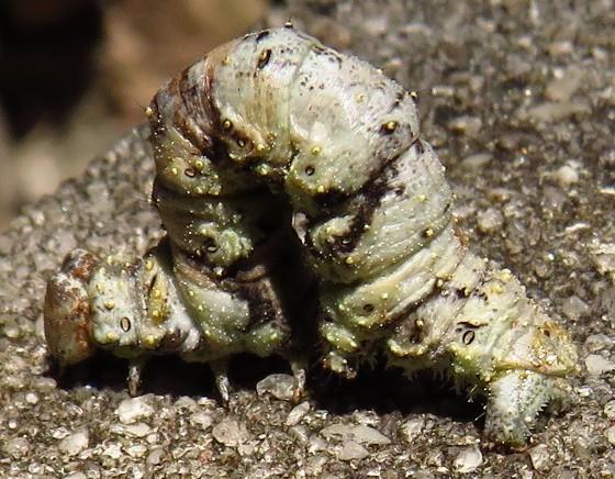 Oak Beauty caterpillar - Phaeoura quernaria