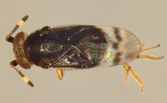 Encyrtidae, dorsal - Microterys - female