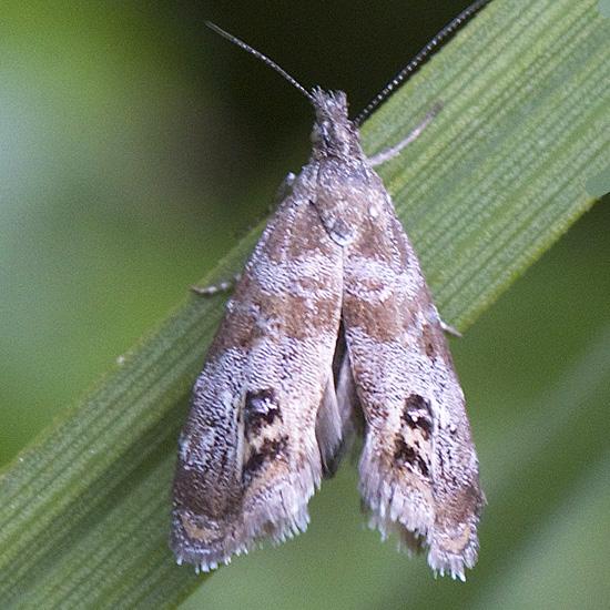 Prochoreutis extrincicella? or Tebenna? - Caloreas apocynoglossa