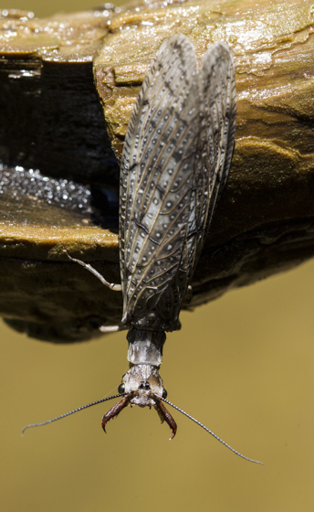 Dobsonfly - Corydalus texanus - male