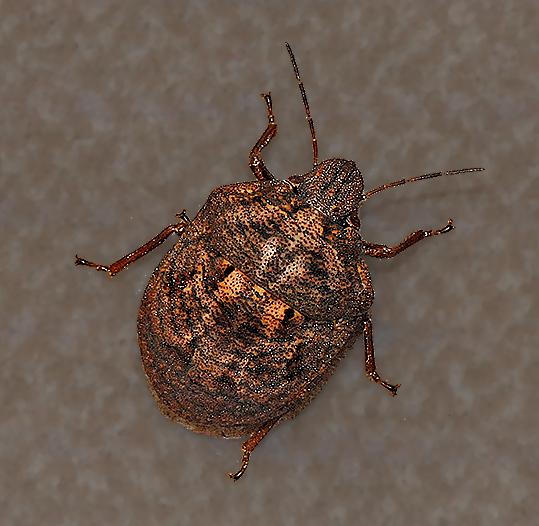 Shield-backed Bug - Tetyra bipunctata