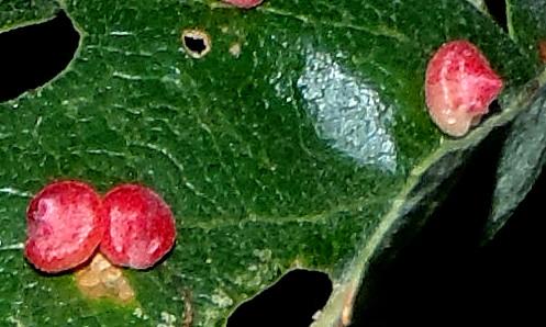 conical leaf galls on Valley Oak - Andricus kingi