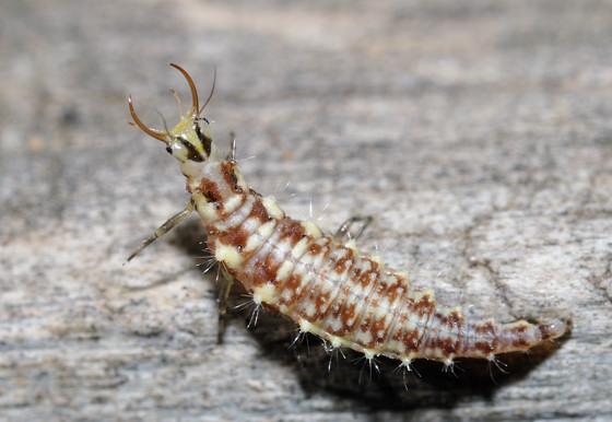 Glad I'm not a tiny critter - Chrysoperla plorabunda