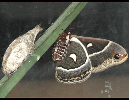 Glover's Silkmoth, female, sized for MPG - Hyalophora columbia - female