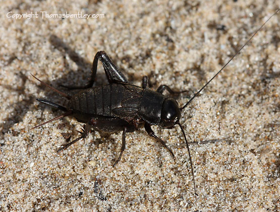 Cricket - Gryllus pennsylvanicus