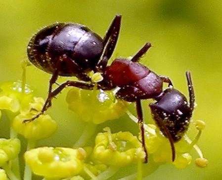 carpenter ant - Camponotus novaeboracensis - female