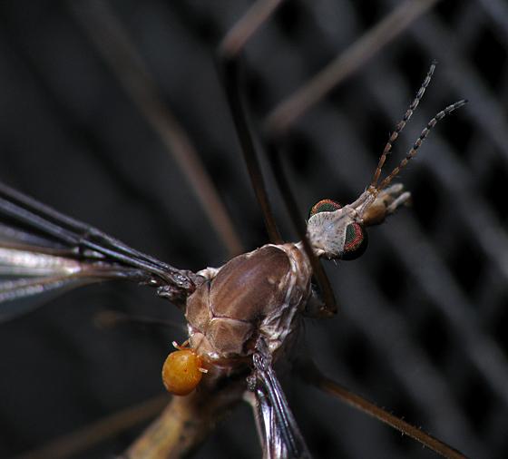 Cranefly Jockey - Calyptostoma