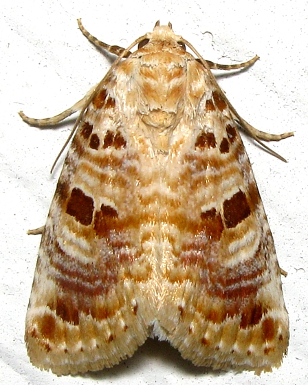 Lantana Control Moth - Hodges # 9067 - Diastema tigris