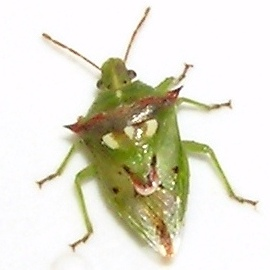 Please help with this stinkbug - Tylospilus acutissimus