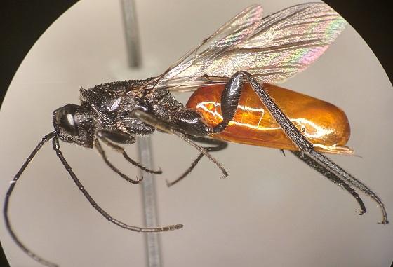 ibalia leucospoides - Ibalia leucospoides