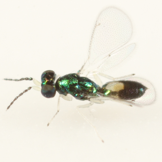 Eulophid ex Cameraria picturatella - Achrysocharoides - male