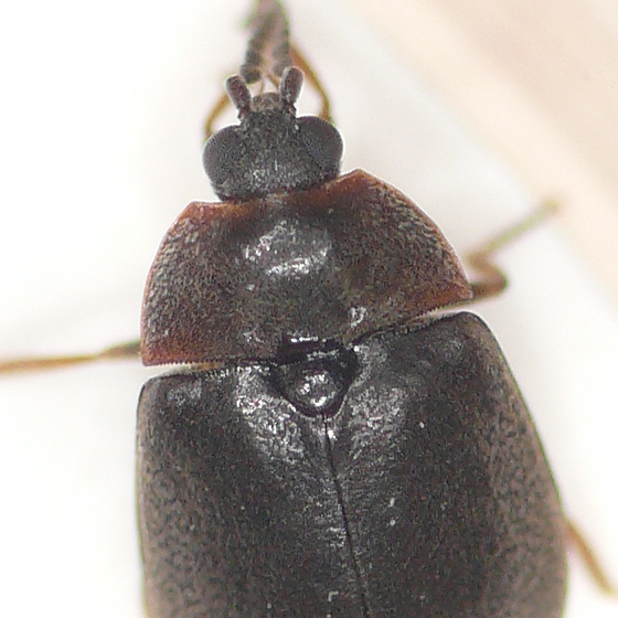 Water penny beetle - Ectopria nervosa
