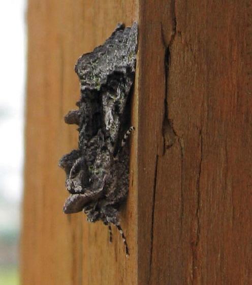 Moth 04c - Behrensia conchiformis