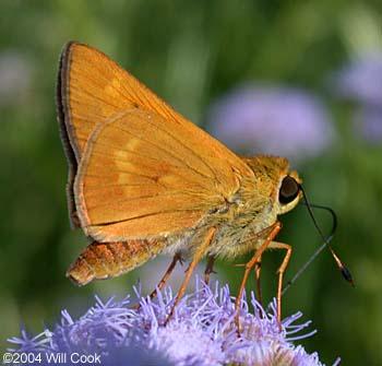 Common Mellana - Quasimellana eulogius - male