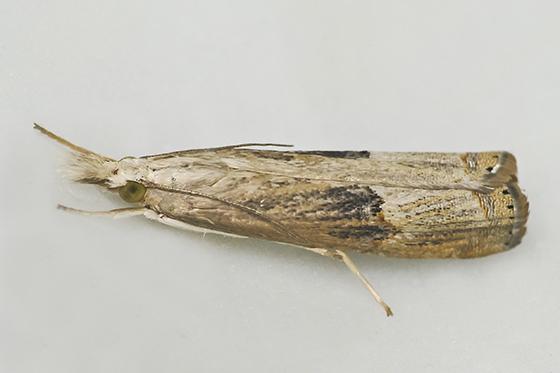 Moth - Parapediasia teterrellus