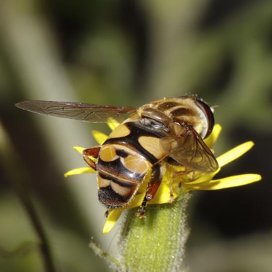 Helophilus - fasciatus or latifrons? - Helophilus