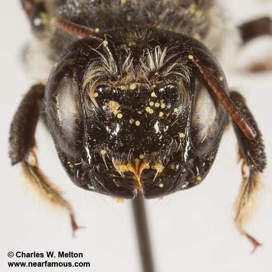 Megachilid - Lithurgopsis - female