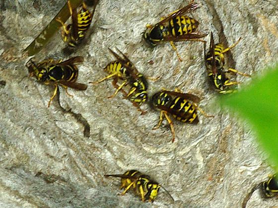 Common Aerial Yellowjackets - Dolichovespula arenaria