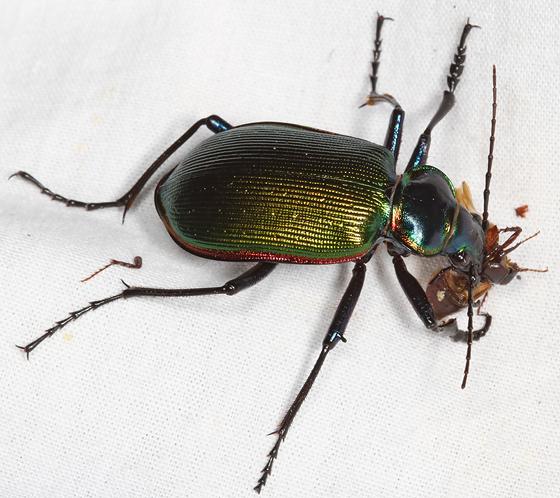 scarab for dinner - Calosoma scrutator