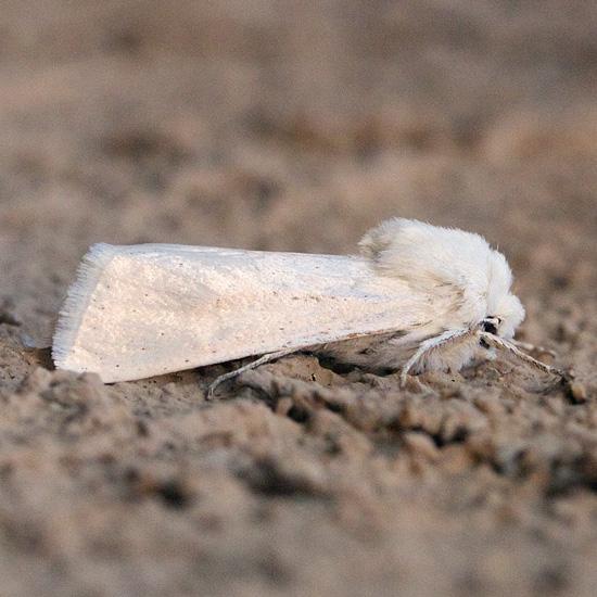 White moth with scattered small spots - Noctuoidea - Protogygia pallida