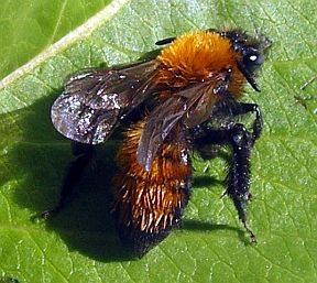 Unknown Bee - Andrena milwaukeensis - female