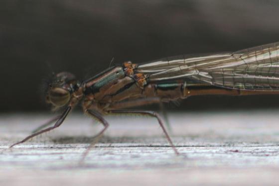 Swift Forktail? - Ischnura erratica - male
