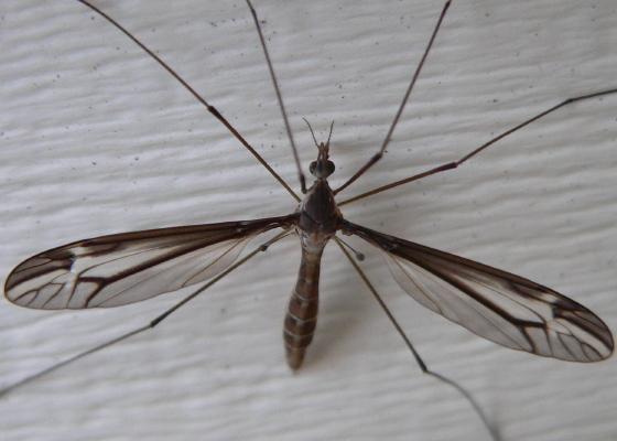 Crane fly - Tipula furca