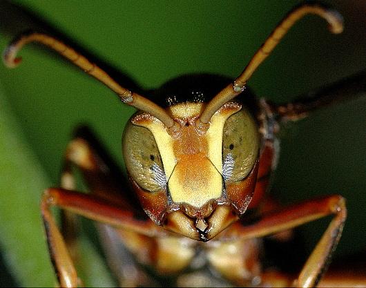 Paper Wasp Portrait - Polistes dorsalis - male
