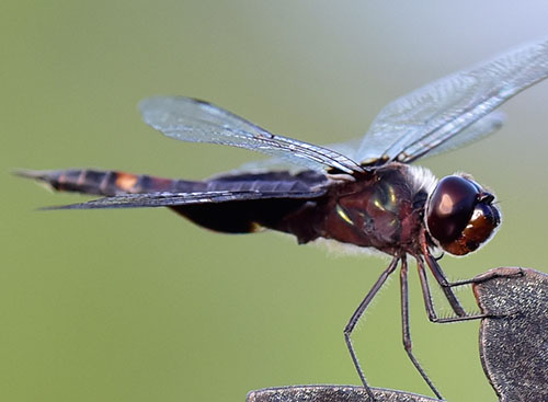 Reddish Dragonfly with Black Patch on Back Wings - Tramea lacerata