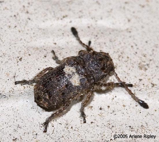 Beetle ID - Toxonotus cornutus