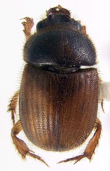 Parochodaeus biarmatus