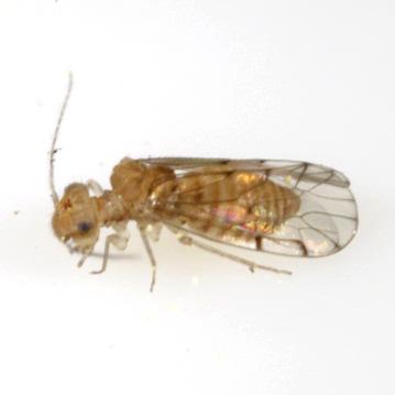 Ectopsocus californicus (Banks) - Ectopsocus californicus - female