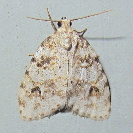 Hodges #8098 - Little White Lichen Moth - Clemensia ochreata