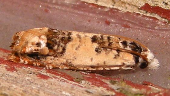 Eucosma ornatula
