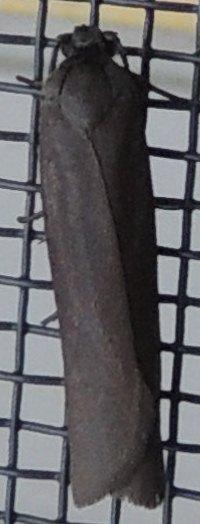 Black moth - Urodus parvula