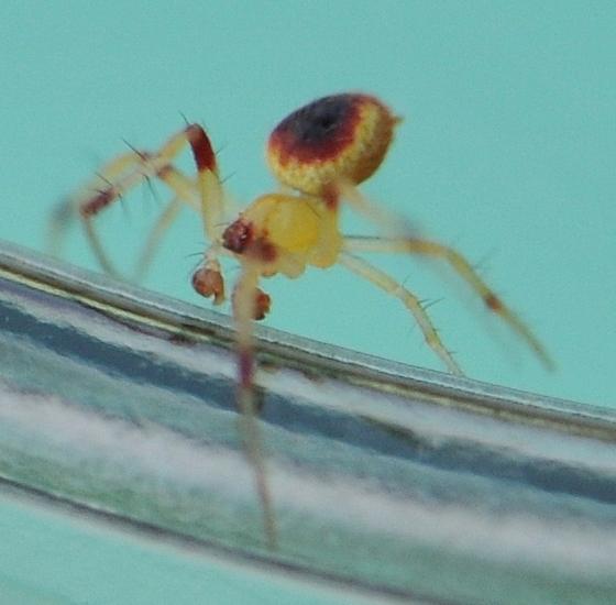 Orb Weaver (Araneus alboventris) - Araneus alboventris - male