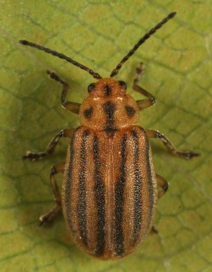 Leaf Beetle - Ophraella sexvittata